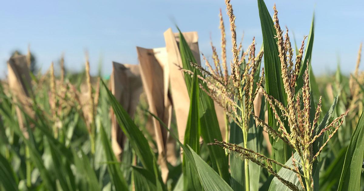 Corn at a UW-Madison crop nursery