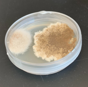 A Petri dish with a substance that is dark brown in the center and lighter brown on the outside growing within it.
